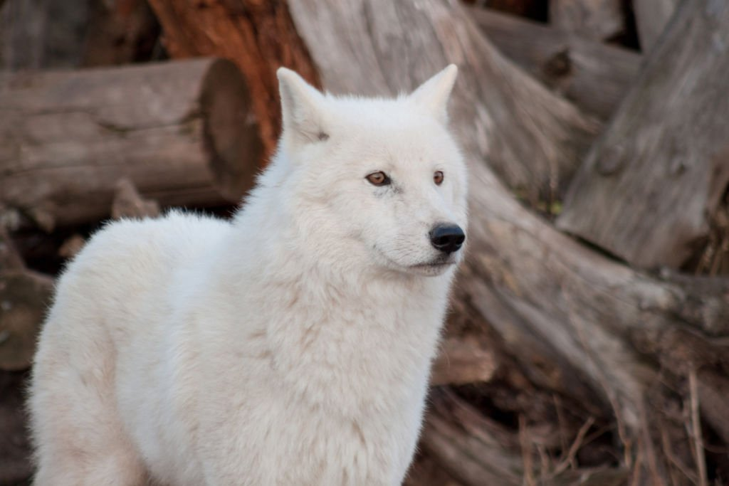 dream white wolf